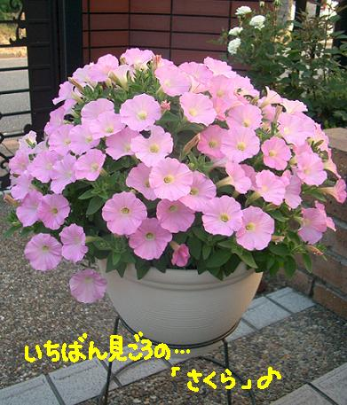 Cimg4303_sakura