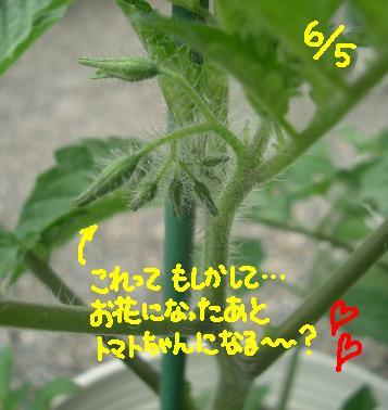 Cimg4834_tomato1