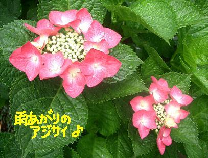Cimg5114_azisai